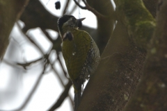 Woodpecker corbett