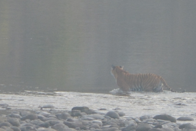 Tiger crossing River Corbett Park