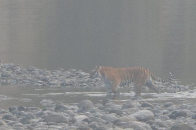 Tiger crossing River Corbett Park