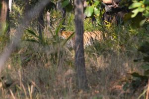 We saw the unmistakable stripes of the tiger moving in the long grass