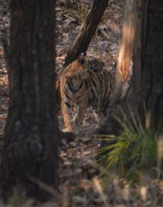 A good guide and driver can help you spot fantastic wildlife like this Bengal Tiger.